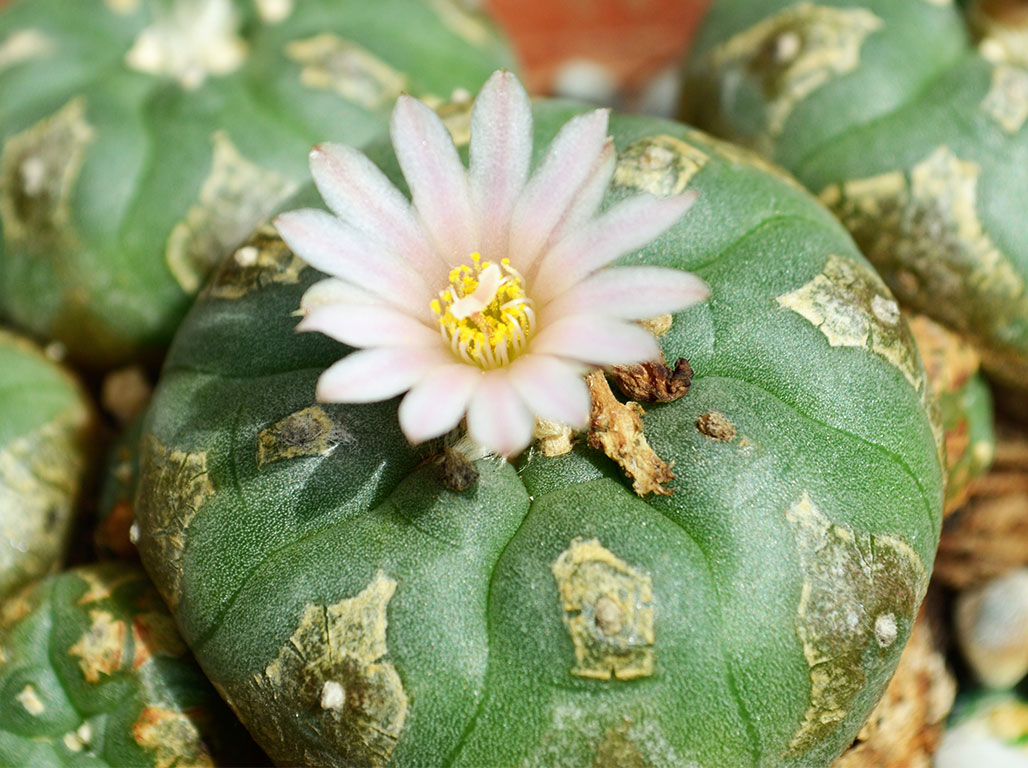 Evolution should be taught to all students | Science News |Peyote Cactus
