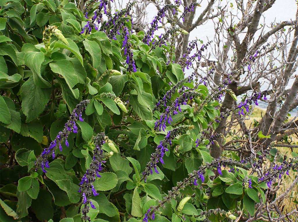 What Is Salvia Divinorum  –