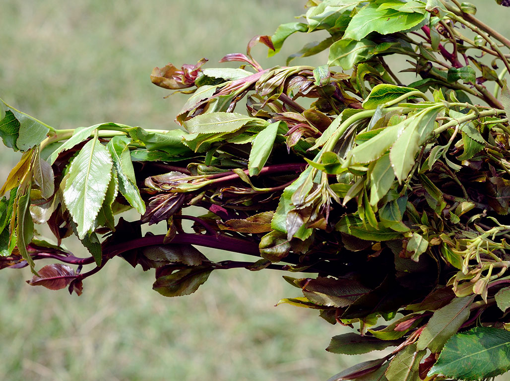 The stimulant plant Khat