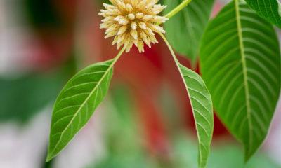 Plant Kratom
