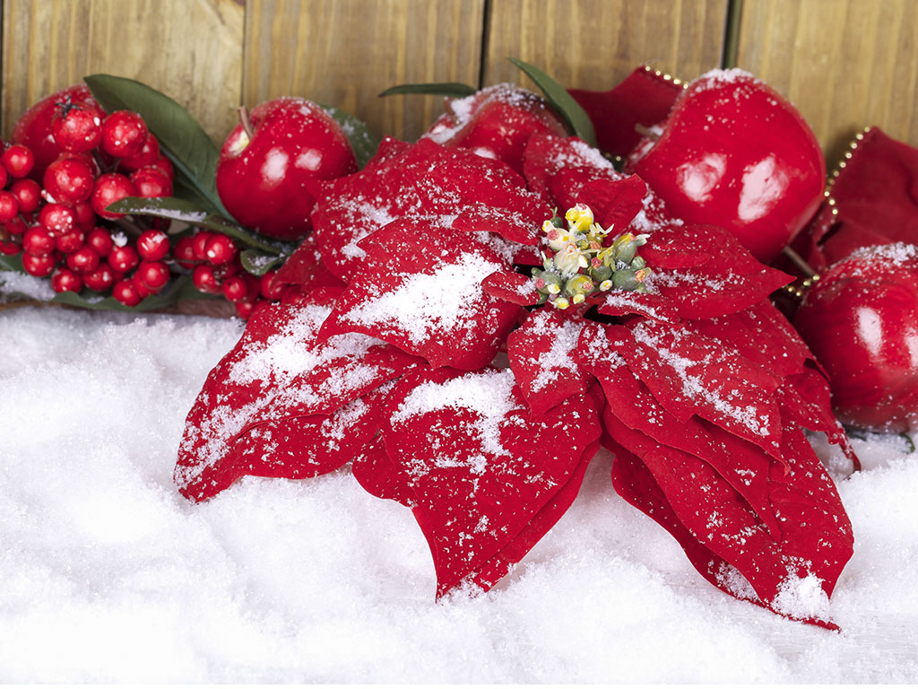 Poinsetta in the snow