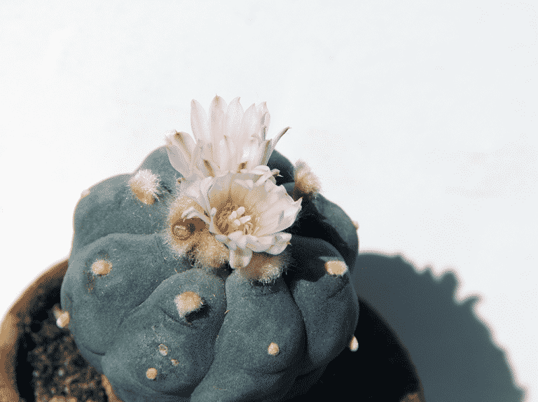 what is peyote (mescaline)