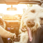 Happy dog going for a drive
