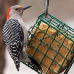 Woodpecker at the feeder