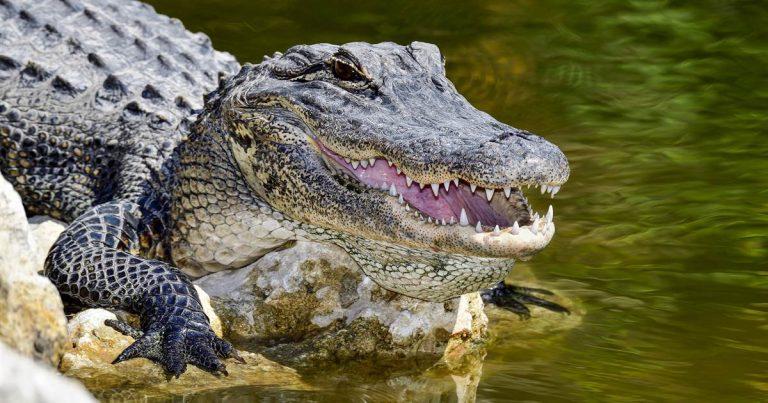 190716-alligator-al-1001_d99e73e1c4c487cb5c206475f044e546.nbcnews-fp-1200-630